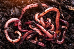 How to Find Nightcrawlers in Your Backyard